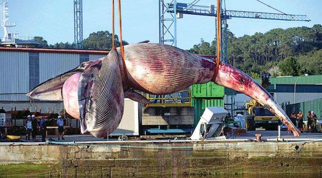 75 tonluk balinayı vinç taşıyamadı