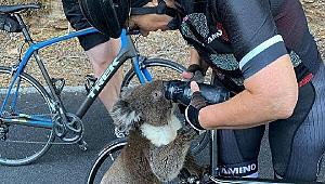 Sıcakta susuz kalan koalanın yardımına bisikletçiler yetişti
