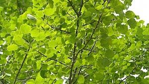 Havada uçuşan kavak pamukçukları alerjen midir?