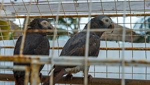 İngiltere'de bir hayvanat bahçesi yönetimi, beş papağanı aynı anda küfür ettikleri gerekçesiyle birbirlerinden ayırdı