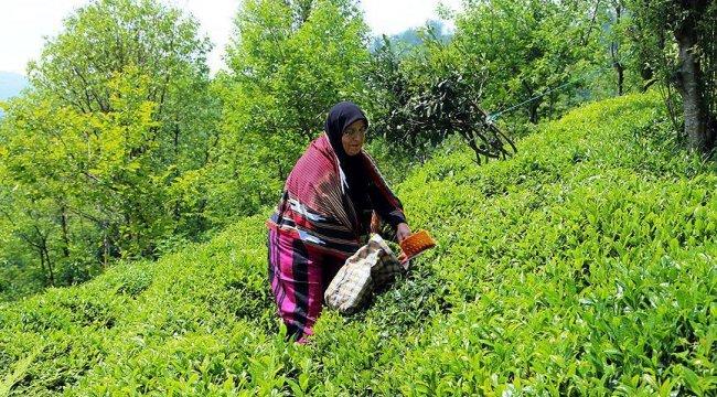 Türk çayına Belçika'dan yoğun ilgi