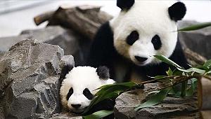 Çin dev pandaların