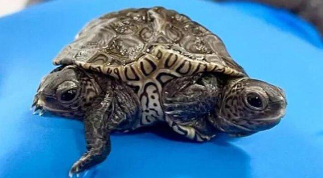 ABD'de dünyaya gelen 2 başlı 6 ayaklı kaplumbağa yaşamını sürdürüyor