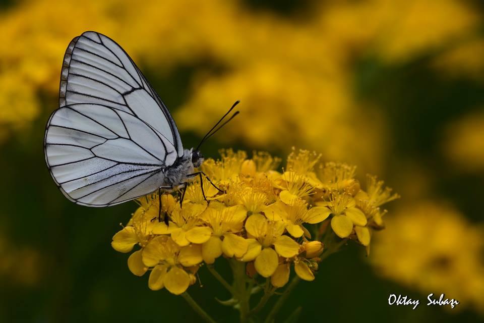 Günün Resmi'nde Alıç Kelebeği