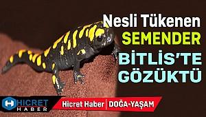 Dünya'da Nesli Tükenen Semender Bitlis'te Gözüktü