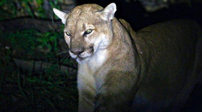 ABD'de bir kişi kendisine saldıran dağ aslanını boğdu