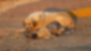 Zehirlenen sokak köpekleri son anda kurtarıldı